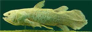 Image of a Coelacanth fish (from Wikipedia)